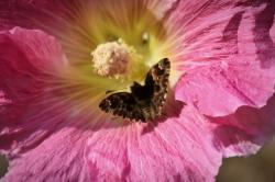 Fleur-papillon